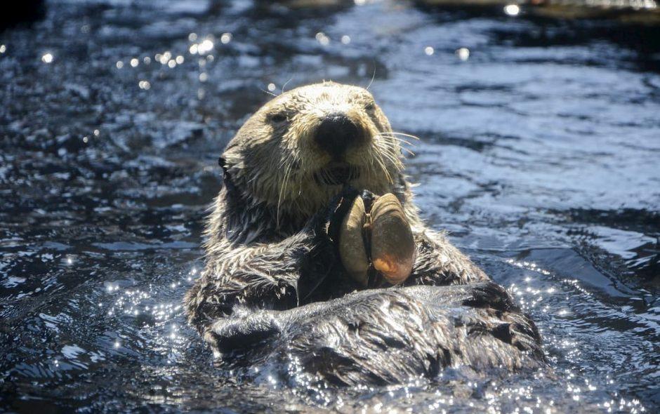 La lontra è il miglior giocoliere in natura
