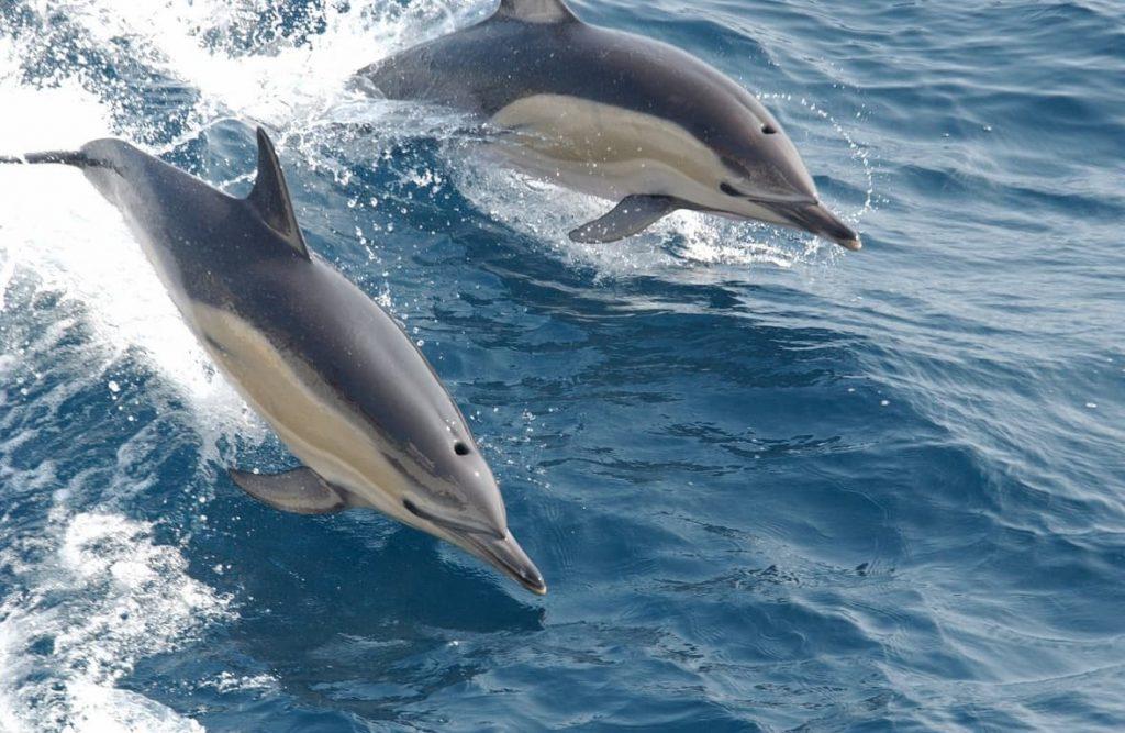 i delfini per attirare le femmine armonizzano le canzoni