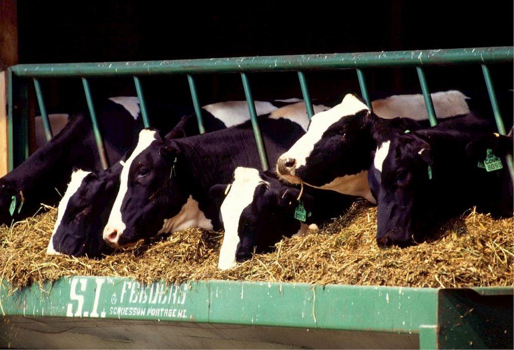 mucche nel porto lasciamole galleggiare