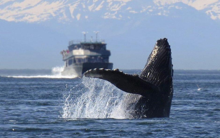 Le balene sono spesso vittime di urti con le navi
