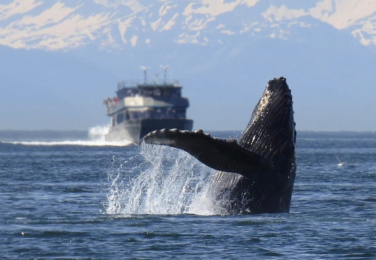 Le balene sono spesso vittime di urti con le navi.