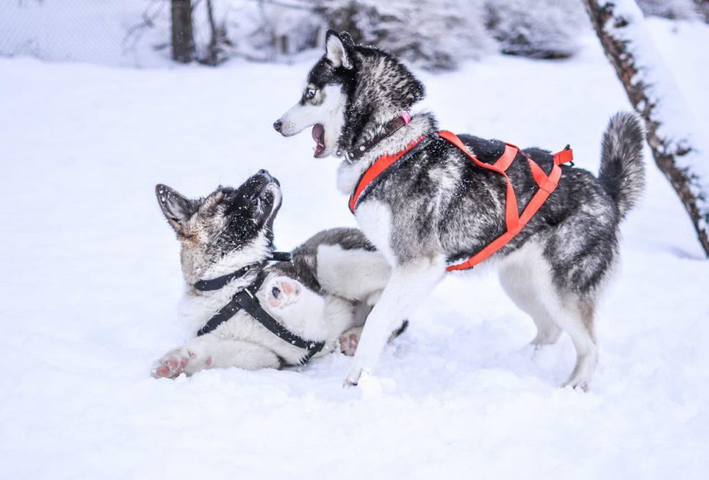 i cani da slitta in lapponia rischiano l'abbattimento