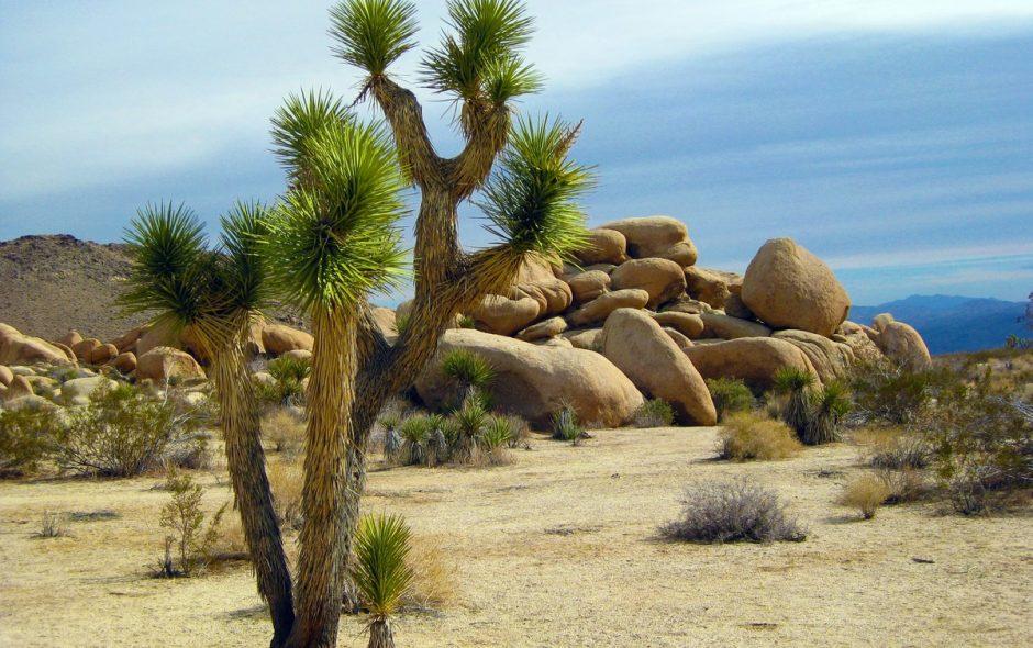 Il Joshua Tree della California diventa pianta protetta