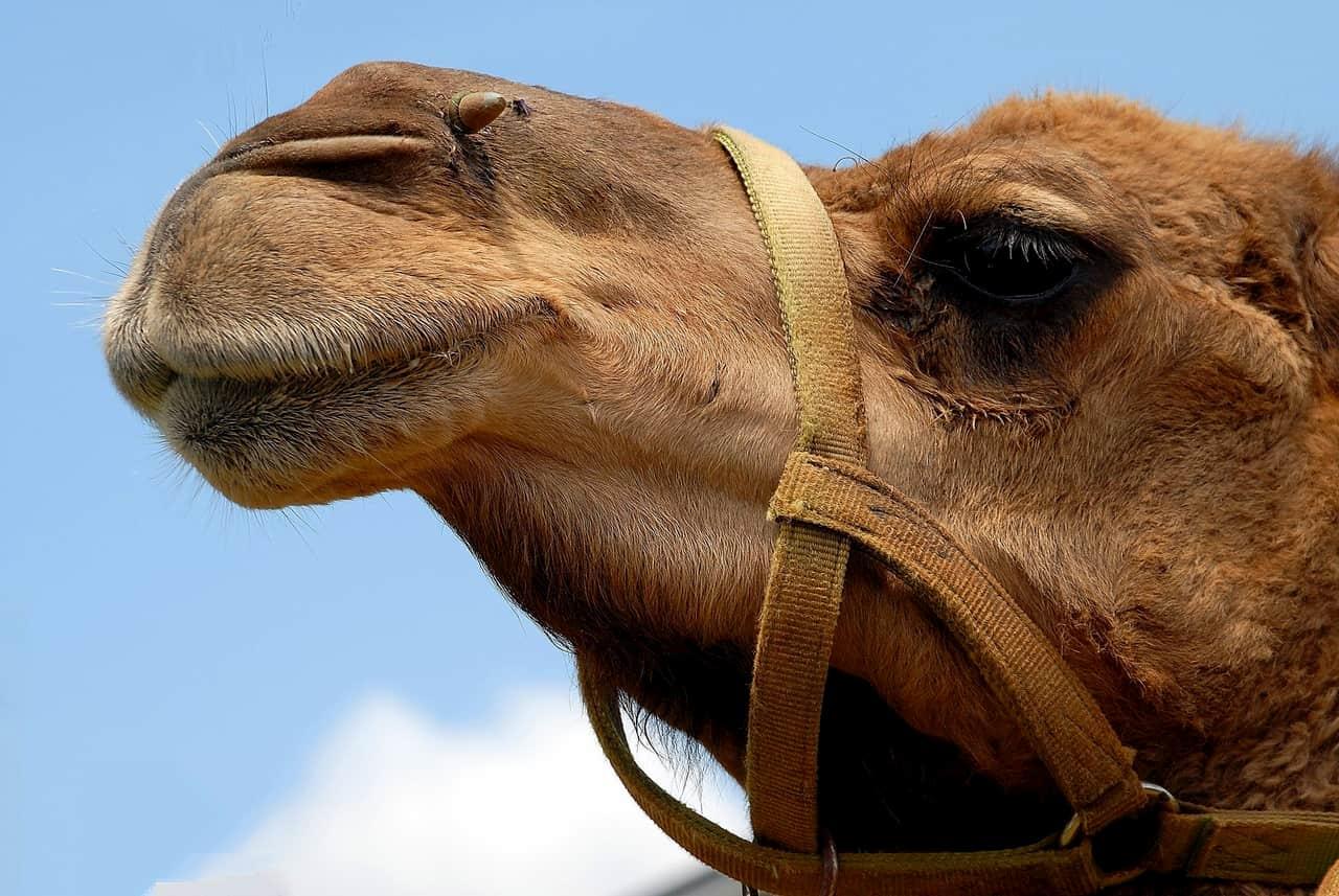 Copiare dai cammelli per tenersi al fresco