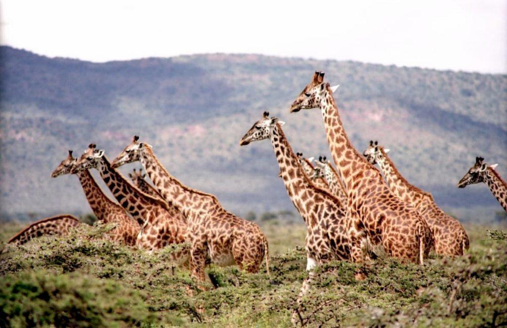 giraffe il mistero delle macchie scure