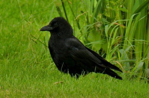 La stupefacente intelligenza del corvo.