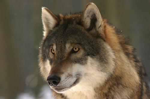 Allevato dai lupi ma non è una favola.