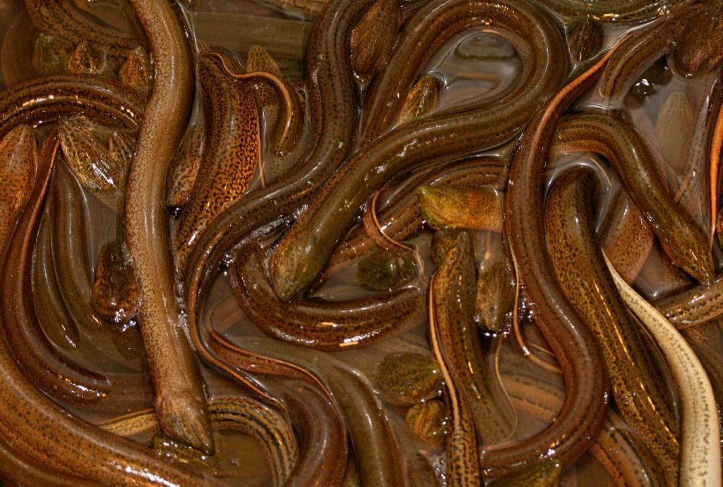 Anguille liberate in un laghetto a New York