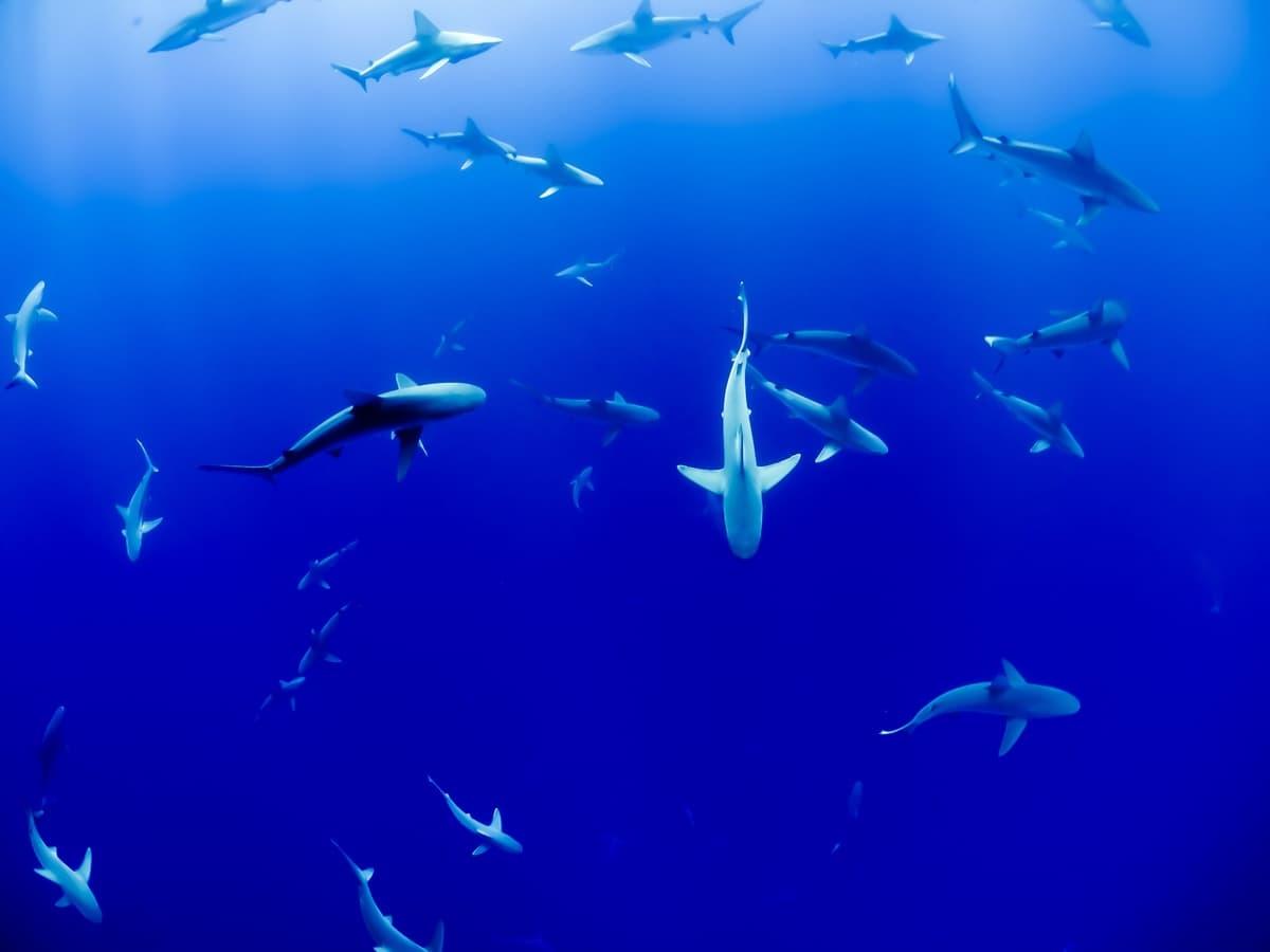 I baby squali rischiano di sparire per il riscaldamento