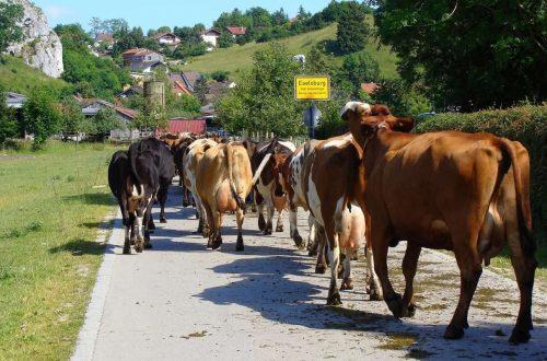 Riusciranno le fattorie verticali a nutrire le mucche