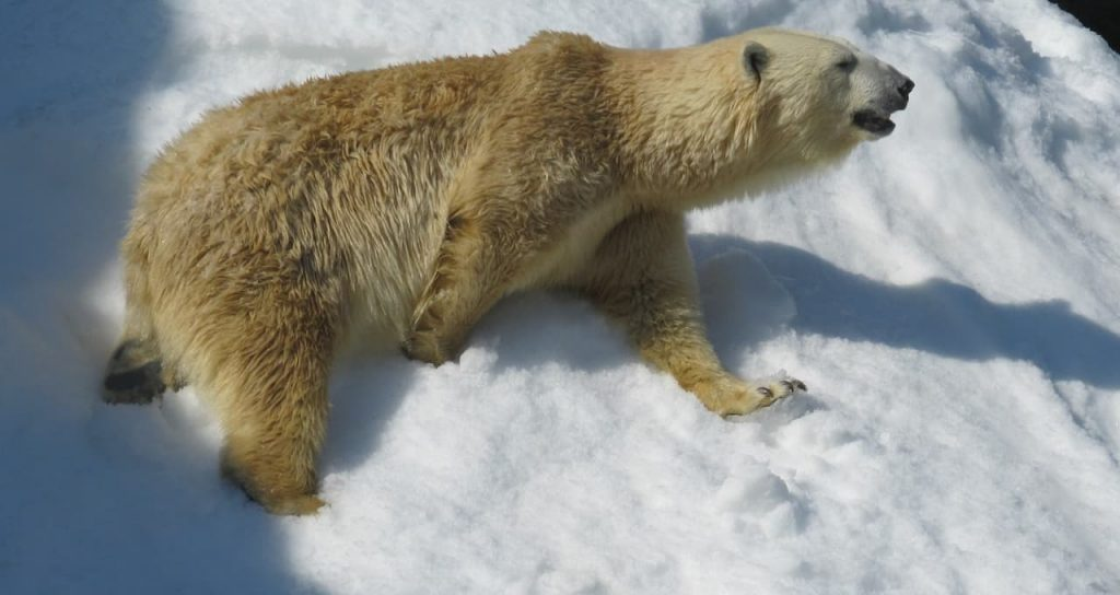 Orsi polari in piena crisi da cambiamento climatico