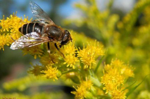 Le mosche possono impollinare