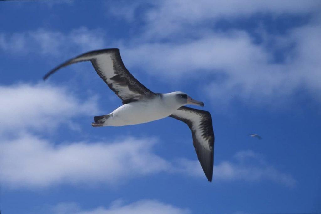 Mamma albatro sta allevando un pulcino a 70 anni
