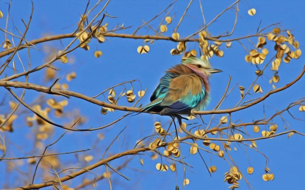Piume più folte per gli uccelli canori dell'Himalaya
