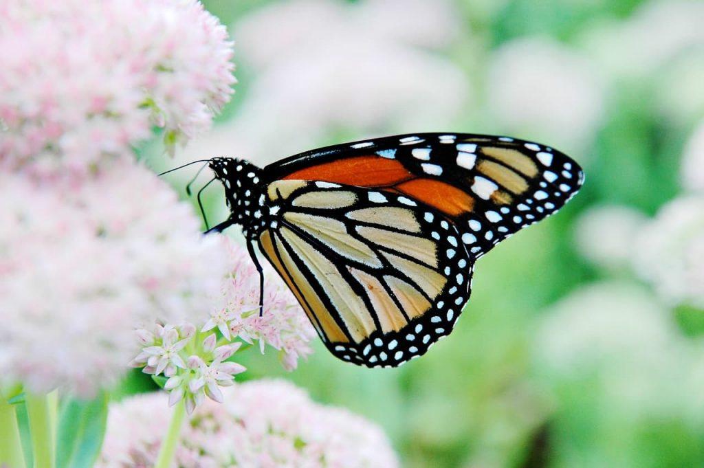 Le farfalle scompaiono in troppi stati USA