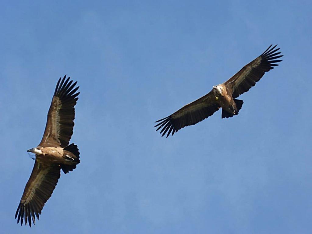C'è un avvoltoio sul terrazzo