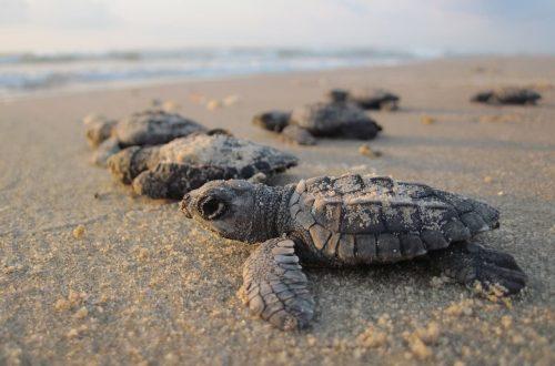 Dove vanno a nascondersi le giovani tartarughe marine?