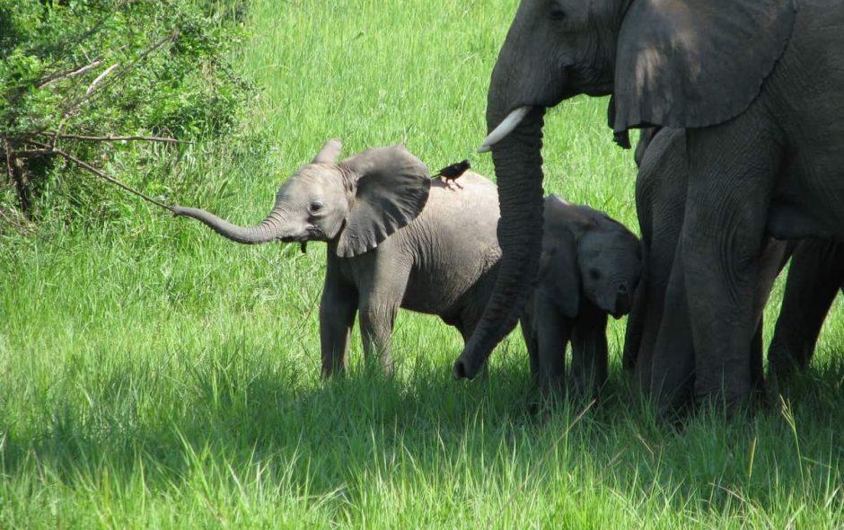 Un branco di 15 elefanti ha improvvisamente iniziato un viaggio