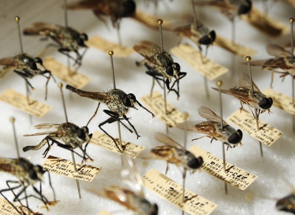 zanzare modificate per battere zika dengue febbre gialla