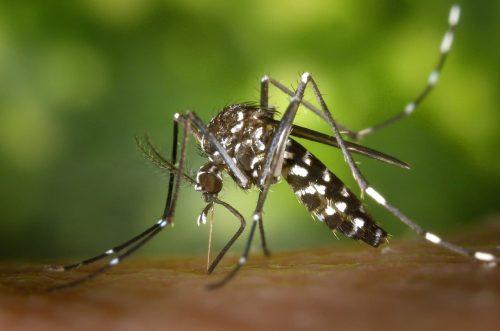 Zanzare modificate per battere zika, dengue, febbre gialla.