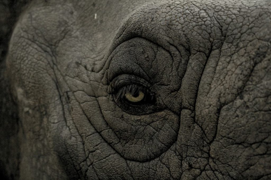 L'elefantessa di Rembrandt da Ceylon a Firenze
