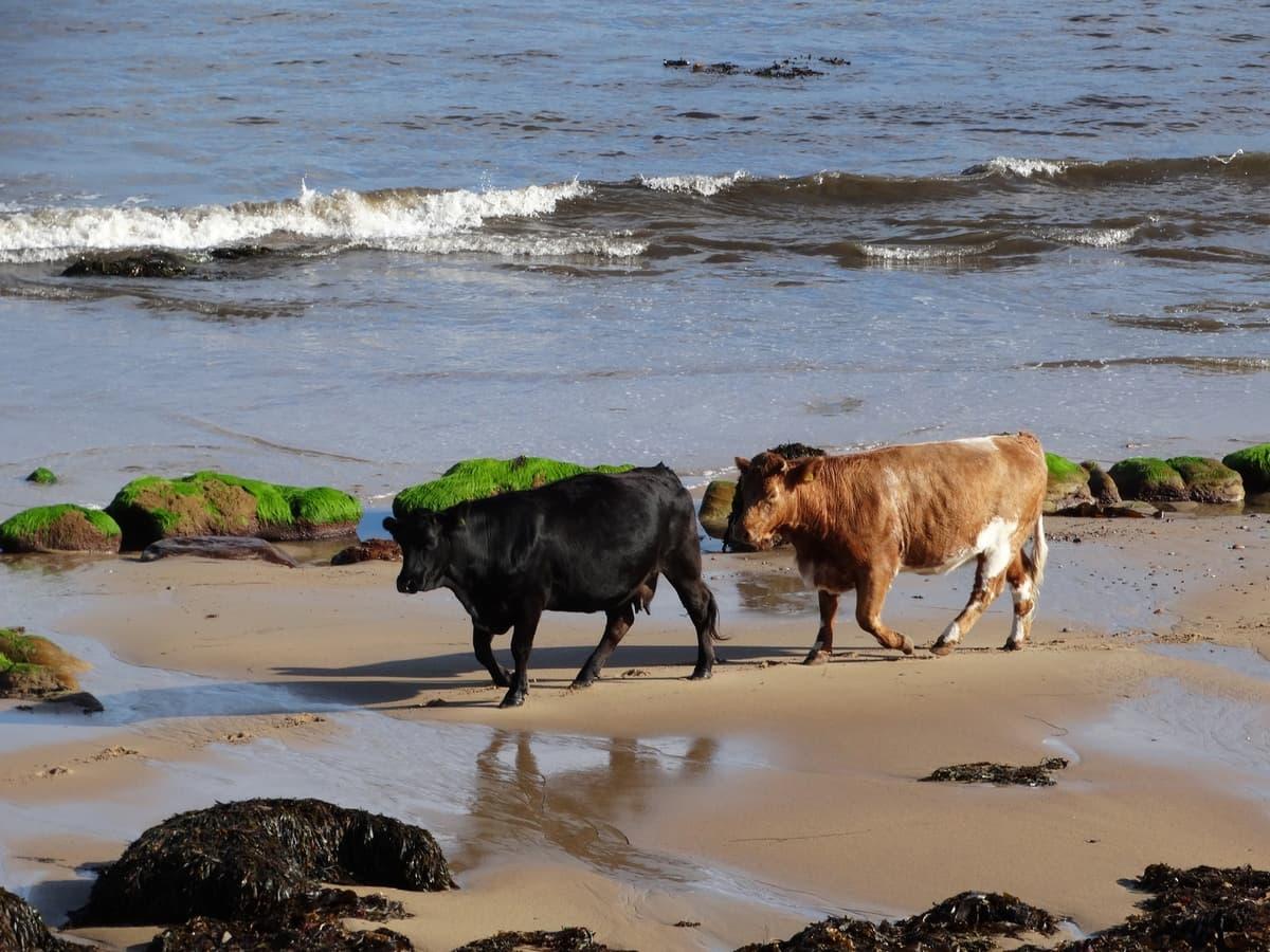 Una dieta con alghe riduce il metano emesso dalle mucche