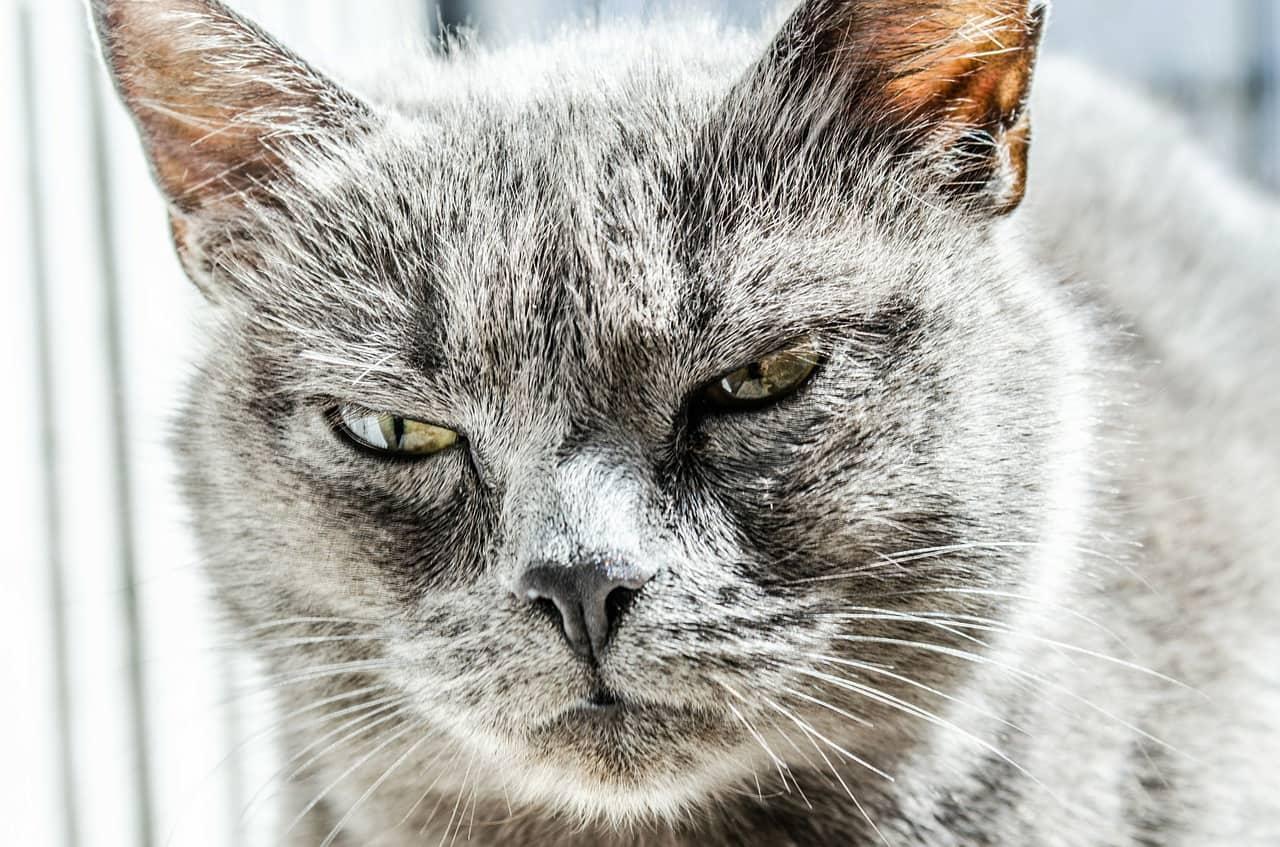I gatti australiani stanno diventando un vero problema
