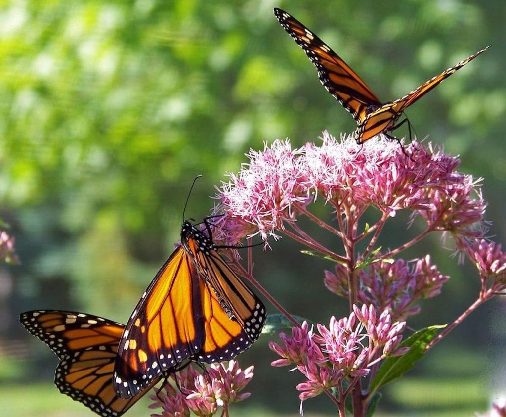 Le farfalle Monarca rischiano di sparire