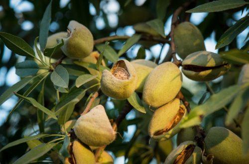 Mandorle californiane in difficoltà per la siccità.