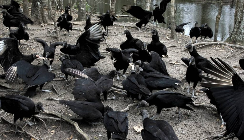 Gli avvoltoi neri sono diventati assassini?