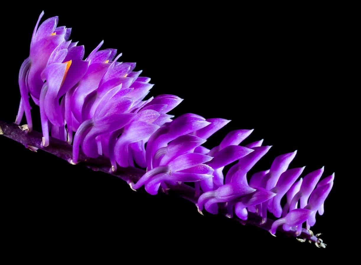 Gli studi di Darwin salvati dalle orchidee