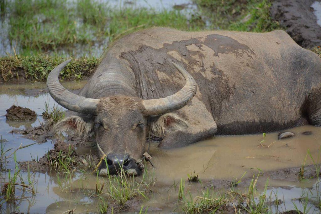 La bufala se la conosci la proteggi