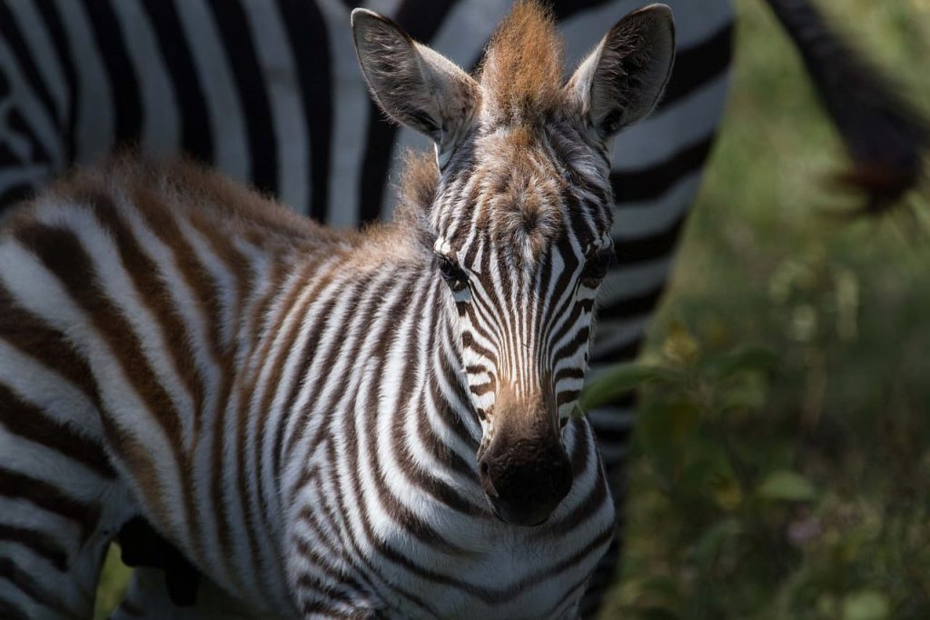 Cinque zebre in fuga si stanno divertendo