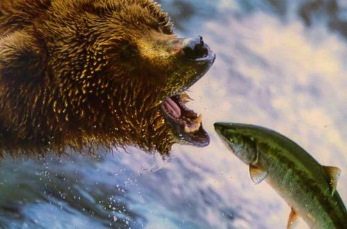 Orso ciccione dell'anno